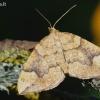 Drebulinis juostasprindis - Eulithis populata | Fotografijos autorius : Arūnas Eismantas | © Macrogamta.lt | Šis tinklapis priklauso bendruomenei kuri domisi makro fotografija ir fotografuoja gyvąjį makro pasaulį.