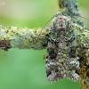 Žaliasis didysis dirvinukas - Anaplectoides prasina | Fotografijos autorius : Arūnas Eismantas | © Macrogamta.lt | Šis tinklapis priklauso bendruomenei kuri domisi makro fotografija ir fotografuoja gyvąjį makro pasaulį.