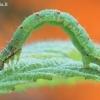 Mesoleuca albicillata - Gervuoginė cidarija | Fotografijos autorius : Arūnas Eismantas | © Macrogamta.lt | Šis tinklapis priklauso bendruomenei kuri domisi makro fotografija ir fotografuoja gyvąjį makro pasaulį.