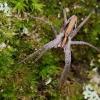 Paprastasis guolininkas - Pisaura mirabilis  | Fotografijos autorius : Arūnas Eismantas | © Macrogamta.lt | Šis tinklapis priklauso bendruomenei kuri domisi makro fotografija ir fotografuoja gyvąjį makro pasaulį.