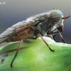 Tabanidae - Sparva | Fotografijos autorius : Arūnas Eismantas | © Macrogamta.lt | Šis tinklapis priklauso bendruomenei kuri domisi makro fotografija ir fotografuoja gyvąjį makro pasaulį.