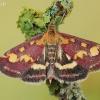 Mėtinė pyrausta - Pyrausta purpuralis  | Fotografijos autorius : Arūnas Eismantas | © Macrogamta.lt | Šis tinklapis priklauso bendruomenei kuri domisi makro fotografija ir fotografuoja gyvąjį makro pasaulį.
