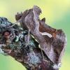 Pietinis žvilgūnas - Macdunnoughia confusa | Fotografijos autorius : Arūnas Eismantas | © Macrogamta.lt | Šis tinklapis priklauso bendruomenei kuri domisi makro fotografija ir fotografuoja gyvąjį makro pasaulį.