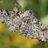 Biston betularia - Beržinis šeriasprinidis | Fotografijos autorius : Arūnas Eismantas | © Macrogamta.lt | Šis tinklapis priklauso bendruomenei kuri domisi makro fotografija ir fotografuoja gyvąjį makro pasaulį.
