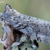 Ankstyvasis pūkanugaris - Achlya flavicornis | Fotografijos autorius : Arūnas Eismantas | © Macrogamta.lt | Šis tinklapis priklauso bendruomenei kuri domisi makro fotografija ir fotografuoja gyvąjį makro pasaulį.