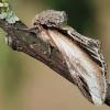 Pheosia tremula - Tuopinis kuodis | Fotografijos autorius : Arūnas Eismantas | © Macrogamta.lt | Šis tinklapis priklauso bendruomenei kuri domisi makro fotografija ir fotografuoja gyvąjį makro pasaulį.