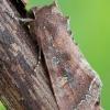 Daržinis pelėdgalvis - Lacanobia oleracea | Fotografijos autorius : Arūnas Eismantas | © Macrogamta.lt | Šis tinklapis priklauso bendruomenei kuri domisi makro fotografija ir fotografuoja gyvąjį makro pasaulį.