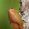 Lapasparnis - Drepanepteryx phalaenoides | Fotografijos autorius : Arūnas Eismantas | © Macrogamta.lt | Šis tinklapis priklauso bendruomenei kuri domisi makro fotografija ir fotografuoja gyvąjį makro pasaulį.
