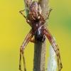 Neriene montana - Kalninis lygumvoris | Fotografijos autorius : Arūnas Eismantas | © Macrogamta.lt | Šis tinklapis priklauso bendruomenei kuri domisi makro fotografija ir fotografuoja gyvąjį makro pasaulį.