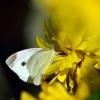 Ropinis baltukas - Pieris rapae | Fotografijos autorius : Darius Baužys | © Macrogamta.lt | Šis tinklapis priklauso bendruomenei kuri domisi makro fotografija ir fotografuoja gyvąjį makro pasaulį.