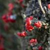 Šiurė - Cladonia sp. | Fotografijos autorius : Darius Baužys | © Macrogamta.lt | Šis tinklapis priklauso bendruomenei kuri domisi makro fotografija ir fotografuoja gyvąjį makro pasaulį.