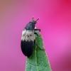 Dermestes lardarius - Paprastasis kailiavabalis | Fotografijos autorius : Darius Baužys | © Macrogamta.lt | Šis tinklapis priklauso bendruomenei kuri domisi makro fotografija ir fotografuoja gyvąjį makro pasaulį.