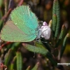 Callophrys rubi - Žalsvasis varinukas | Fotografijos autorius : Darius Baužys | © Macrogamta.lt | Šis tinklapis priklauso bendruomenei kuri domisi makro fotografija ir fotografuoja gyvąjį makro pasaulį.