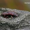 Jalla dumosa - Raudondėmė skydblakė | Fotografijos autorius : Darius Baužys | © Macrogamta.lt | Šis tinklapis priklauso bendruomenei kuri domisi makro fotografija ir fotografuoja gyvąjį makro pasaulį.