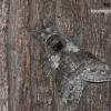 Calliteara pudibunda - Raudonuodegis verpikas | Fotografijos autorius : Darius Baužys | © Macrogamta.lt | Šis tinklapis priklauso bendruomenei kuri domisi makro fotografija ir fotografuoja gyvąjį makro pasaulį.
