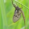 Ephemeroptera – Lašalas | Fotografijos autorius : Darius Baužys | © Macrogamta.lt | Šis tinklapis priklauso bendruomenei kuri domisi makro fotografija ir fotografuoja gyvąjį makro pasaulį.