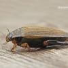Acilius sulcatus - Raiboji vėžiadusė | Fotografijos autorius : Darius Baužys | © Macrogamta.lt | Šis tinklapis priklauso bendruomenei kuri domisi makro fotografija ir fotografuoja gyvąjį makro pasaulį.