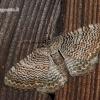 Hydria [=Rheumaptera] undulata - Margajuostis sprindžius | Fotografijos autorius : Darius Baužys | © Macrogamta.lt | Šis tinklapis priklauso bendruomenei kuri domisi makro fotografija ir fotografuoja gyvąjį makro pasaulį.