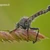 Tolmerus atricapillus - Plėšriamusė | Fotografijos autorius : Darius Baužys | © Macrogamta.lt | Šis tinklapis priklauso bendruomenei kuri domisi makro fotografija ir fotografuoja gyvąjį makro pasaulį.