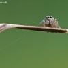 Evarcha arcuata - Vaivorykštinis musėgaudis | Fotografijos autorius : Darius Baužys | © Macrogamta.lt | Šis tinklapis priklauso bendruomenei kuri domisi makro fotografija ir fotografuoja gyvąjį makro pasaulį.