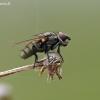 Žiedenė - Leucophora sp. | Fotografijos autorius : Darius Baužys | © Macrogamta.lt | Šis tinklapis priklauso bendruomenei kuri domisi makro fotografija ir fotografuoja gyvąjį makro pasaulį.