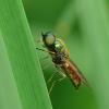 Plokščiamusė - Chloromyia formosa | Fotografijos autorius : Darius Baužys | © Macrogamta.lt | Šis tinklapis priklauso bendruomenei kuri domisi makro fotografija ir fotografuoja gyvąjį makro pasaulį.
