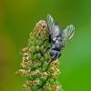 Vėžiažudė - Rhinophora lepida | Fotografijos autorius : Darius Baužys | © Macrogamta.lt | Šis tinklapis priklauso bendruomenei kuri domisi makro fotografija ir fotografuoja gyvąjį makro pasaulį.