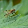 Slankmusė - Chrysopilus splendidus  | Fotografijos autorius : Darius Baužys | © Macrogamta.lt | Šis tinklapis priklauso bendruomenei kuri domisi makro fotografija ir fotografuoja gyvąjį makro pasaulį.