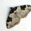 Paprastoji cidarija - Xanthorhoe fluctuata (Linnaeus- 1758) | Fotografijos autorius : Darius Baužys | © Macrogamta.lt | Šis tinklapis priklauso bendruomenei kuri domisi makro fotografija ir fotografuoja gyvąjį makro pasaulį.