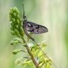 Lašalas - Ephemeroptera | Fotografijos autorius : Darius Baužys | © Macrogamta.lt | Šis tinklapis priklauso bendruomenei kuri domisi makro fotografija ir fotografuoja gyvąjį makro pasaulį.
