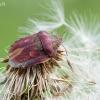 Lenktagalvė vėžliablakė – Eurygaster testudinaria (Geoffroy- 1785) | Fotografijos autorius : Darius Baužys | © Macrogamta.lt | Šis tinklapis priklauso bendruomenei kuri domisi makro fotografija ir fotografuoja gyvąjį makro pasaulį.