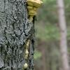 Valgomoji geltonpintė - Laetiporus sulphureus | Fotografijos autorius : Darius Baužys | © Macrogamta.lt | Šis tinklapis priklauso bendruomenei kuri domisi makro fotografija ir fotografuoja gyvąjį makro pasaulį.
