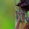Chorthippus dorsatus - Ganyklinis skėriukas | Fotografijos autorius : Darius Baužys | © Macrogamta.lt | Šis tinklapis priklauso bendruomenei kuri domisi makro fotografija ir fotografuoja gyvąjį makro pasaulį.