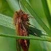Phragmatobia fuliginosa - Rudoji meškutė | Fotografijos autorius : Darius Baužys | © Macrogamta.lt | Šis tinklapis priklauso bendruomenei kuri domisi makro fotografija ir fotografuoja gyvąjį makro pasaulį.