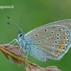 Polyommatus amandus - Didysis melsvys | Fotografijos autorius : Darius Baužys | © Macrogamta.lt | Šis tinklapis priklauso bendruomenei kuri domisi makro fotografija ir fotografuoja gyvąjį makro pasaulį.