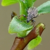 Phyllobius pyri - Kriaušinis lapinukas   Fotografijos autorius : Darius Baužys   © Macrogamta.lt   Šis tinklapis priklauso bendruomenei kuri domisi makro fotografija ir fotografuoja gyvąjį makro pasaulį.