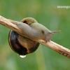 Cepea nemoralis - Rudalūpė dryžė | Fotografijos autorius : Darius Baužys | © Macrogamta.lt | Šis tinklapis priklauso bendruomenei kuri domisi makro fotografija ir fotografuoja gyvąjį makro pasaulį.