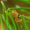 Acleris notana / ferrugana - Akleris | Fotografijos autorius : Romas Ferenca | © Macrogamta.lt | Šis tinklapis priklauso bendruomenei kuri domisi makro fotografija ir fotografuoja gyvąjį makro pasaulį.