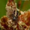 Aculepeira ceropegia - Ąžuolialapis verpstūnas | Fotografijos autorius : Romas Ferenca | © Macrogamta.lt | Šis tinklapis priklauso bendruomenei kuri domisi makro fotografija ir fotografuoja gyvąjį makro pasaulį.