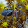 Agelena labyrinthica - Labirintinis piltuvininkas | Fotografijos autorius : Romas Ferenca | © Macrogamta.lt | Šis tinklapis priklauso bendruomenei kuri domisi makro fotografija ir fotografuoja gyvąjį makro pasaulį.