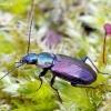 Palinis žvitražygis - Agonum muelleri | Fotografijos autorius : Romas Ferenca | © Macrogamta.lt | Šis tinklapis priklauso bendruomenei kuri domisi makro fotografija ir fotografuoja gyvąjį makro pasaulį.