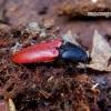 Ampedus sanguineus - Pušinis kelmaspragšis | Fotografijos autorius : Romas Ferenca | © Macrogamta.lt | Šis tinklapis priklauso bendruomenei kuri domisi makro fotografija ir fotografuoja gyvąjį makro pasaulį.