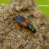 Anchomenus dorsalis - Raudonpetis žvitražygis | Fotografijos autorius : Romas Ferenca | © Macrogamta.lt | Šis tinklapis priklauso bendruomenei kuri domisi makro fotografija ir fotografuoja gyvąjį makro pasaulį.