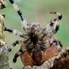 Keturdėmis kryžiuotis - Araneus quadratus | Fotografijos autorius : Romas Ferenca | © Macrogamta.lt | Šis tinklapis priklauso bendruomenei kuri domisi makro fotografija ir fotografuoja gyvąjį makro pasaulį.