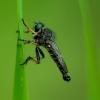 Neoitamus cyanurus - Plėšriamusė | Fotografijos autorius : Romas Ferenca | © Macrogamta.lt | Šis tinklapis priklauso bendruomenei kuri domisi makro fotografija ir fotografuoja gyvąjį makro pasaulį.