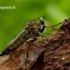 Neoitamus cothurnatus - Plėšriamusė | Fotografijos autorius : Romas Ferenca | © Macrogamta.lt | Šis tinklapis priklauso bendruomenei kuri domisi makro fotografija ir fotografuoja gyvąjį makro pasaulį.