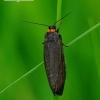 Atolmis rubricollis - Raudonkaklė meškutė | Fotografijos autorius : Romas Ferenca | © Macrogamta.lt | Šis tinklapis priklauso bendruomenei kuri domisi makro fotografija ir fotografuoja gyvąjį makro pasaulį.