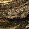Mniotype [=Blepharita] satura - Tamsiarudis vėlyvis   Fotografijos autorius : Romas Ferenca   © Macrogamta.lt   Šis tinklapis priklauso bendruomenei kuri domisi makro fotografija ir fotografuoja gyvąjį makro pasaulį.