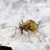 Skorpionmusė - Boreus westwoodi | Fotografijos autorius : Romas Ferenca | © Macrogamta.lt | Šis tinklapis priklauso bendruomenei kuri domisi makro fotografija ir fotografuoja gyvąjį makro pasaulį.