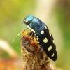 Buprestis octoguttata - Aštuoniataškis blizgiavabalis | Fotografijos autorius : Romas Ferenca | © Macrogamta.lt | Šis tinklapis priklauso bendruomenei kuri domisi makro fotografija ir fotografuoja gyvąjį makro pasaulį.
